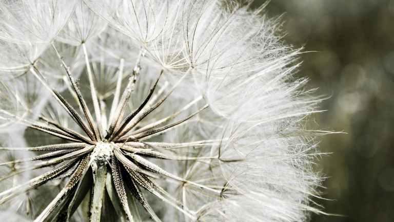 dandelion macro photography