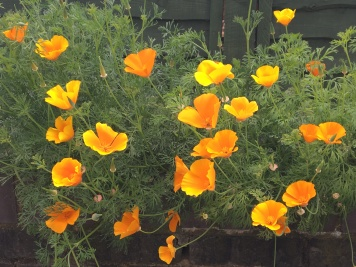 Banner Street Poppies
