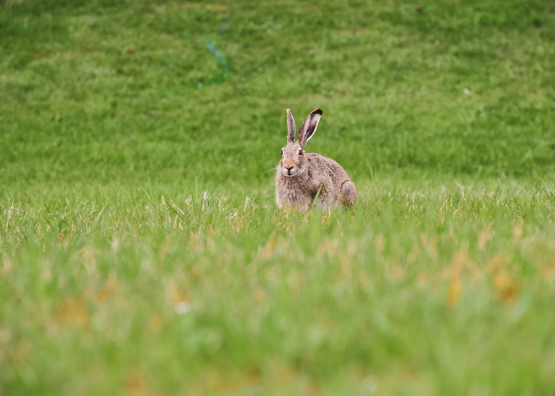 brown rabbit on green grass field